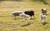 Schaffamilie rennt